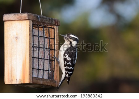 a downy woodpecker hangs from the cage of a suet feeder. Black eyes wide open, the bird looks at the peanut suet treat. - stock photo