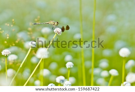 a dragonfly bending itself and sitting on a wild flower (Manee Dhevaa Eriocaulon sp.) - stock photo