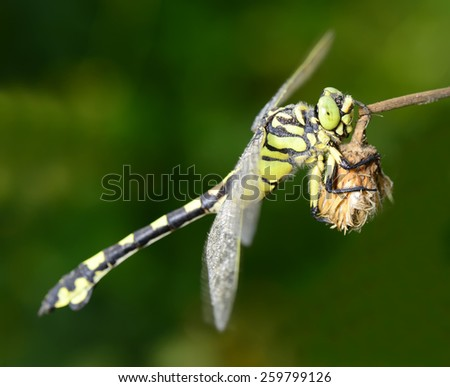 A dragonfly stay on grass shoots, close-up