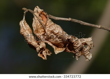 A Dried Dead Brown Leaf, with an Attached Spider Web, Hanging from a Tree - stock photo