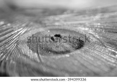 A drop of water and feather of a peacock (black and white) - stock photo
