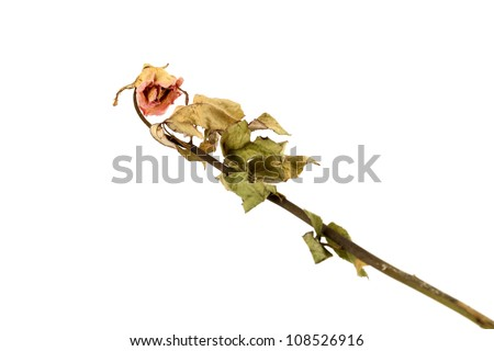 a dry rose on white background