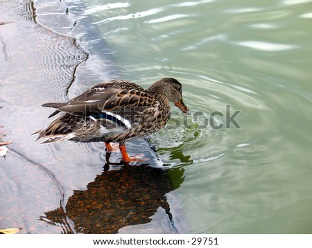A duck in Central Park, NYC - stock photo