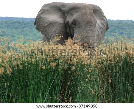 a elephant in Uganda (Africa) in high grassy environment - stock photo