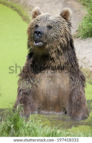 A Eurasian Brown Bear sitting in a swamp
