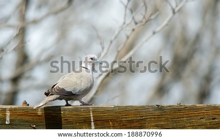 A Eurasian collared-dove perched on wooden post. Commerce city, Colorado.