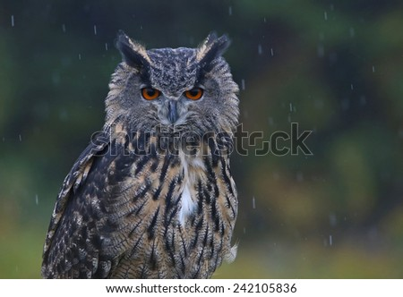 A Eurasian Eagle Owl (Bubo bubo) looking at the camera in the rain.  - stock photo