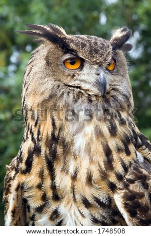 A european eagle owl closeup