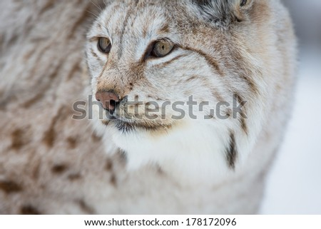 A european lynx in the cold winter. February, Norway. - stock photo