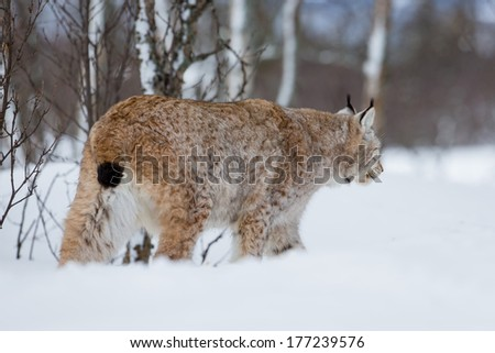 A european lynx in the snow. Cold winter, February, Norway.