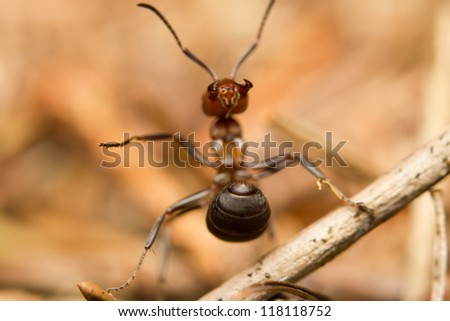A European red wood ant (Formica rufa) defending its nest