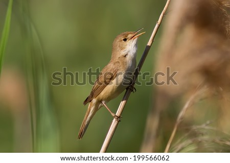 A European Reed Warbler (Acrocephalus Scirpaceus) singing on a reed - stock photo