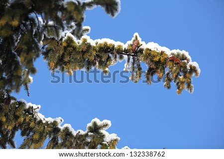 a evergreen branch with a heavy snow on it