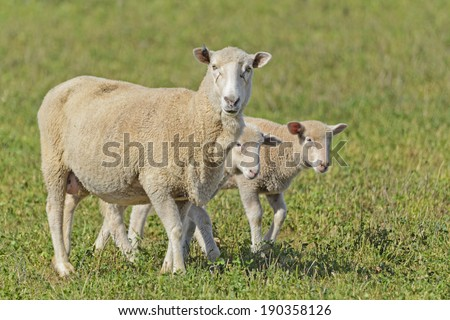 a ewe and 2 lambs closeup in a grass pasture