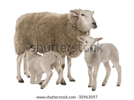 a Ewe with her two lambs, one is suckling in front of a white background - stock photo
