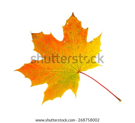 A fall hued maple leaf on a white background. - stock photo