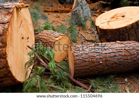 A fallen tree in the forest is cut into logs.  Close up detail of wood and needles. Location is Yosemite National Park in California.