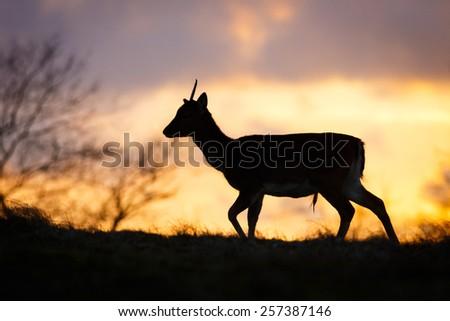 a fallow deer in beautiful light - stock photo