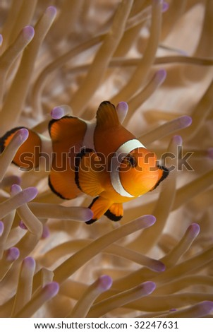 A False Clown Fish (Amphiprion ocellaris) in it's home anemone (Heteractis magnifica) in the oceans of the Philippines. - stock photo