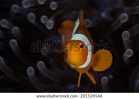 A False Clownfish (Amphiprion ocellaris) swims among the sinuous tentacles of its host anemone that grows on a coral reef in the tropical Western Pacific. - stock photo