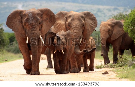 A family herd of elephants walks towards me. A young bull lifts his trunk as he smells us on his approach.Taken at a low angle to appreciate the size of these amazing animals better. - stock photo