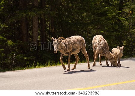 A family of bighorn sheep on a road in the Canadian rockies - stock photo
