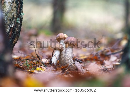 A family of brown cap boletuses in autumn forest