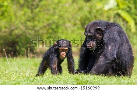 a family  of chimps sitting on some green grass , relatives - stock photo