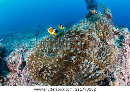 A family of Clownfish on a tropical coral reef - stock photo
