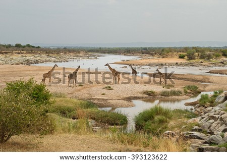 A family of giraffes (Giraffa camelopardalis) next to the Mara river, in the Northern Serengeti national park, Tanzania, next to the border with Kenya - stock photo