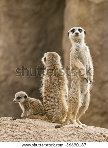 A family of meerkats: father, mother and baby. The meerkat is a small mammal, a member of the mongoose family, inhabiting the region of the Kalahari Desert and the Namib in Africa. - stock photo