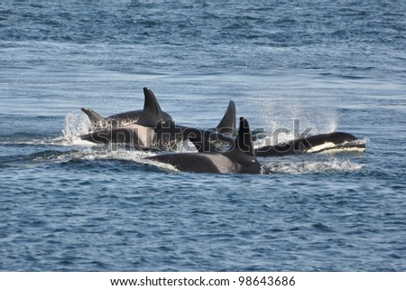 A family of orcas surfaces close together. - stock photo