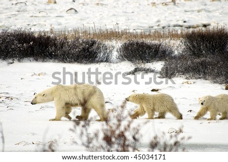 A family of polar bears out for a stroll on the snow. - stock photo