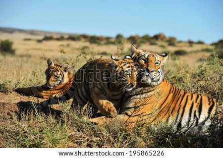 A family of tigers - stock photo
