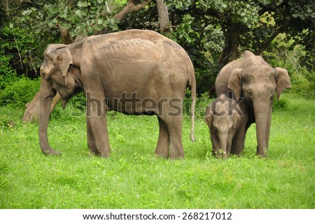 A family of wild asian elephants in India - stock photo