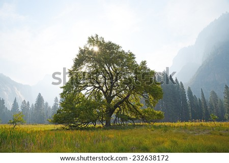 a famous elm tree in yosemite valley - stock photo