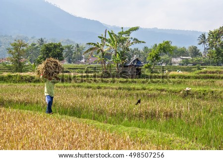 A farmer carries bunch of harvested paddy