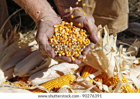 A farmer catches seed corn in his hands over ears of corn on the ground at his feet during harvest season. - stock photo