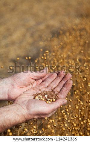 A farmer  holding a sample of this years flax harvest, focus on seeds. - stock photo