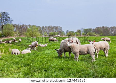 A farmland landscape in holland with herd sheep - stock photo