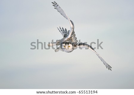 A fast flying snowy owl with bright yellow eyes