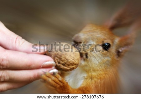 A fast squirrel stealing a walnut the the hand. Blurred by intention. - stock photo