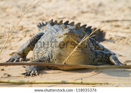 A fat crocodile lying in the sand - stock photo