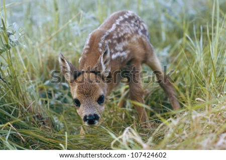 A fawn of the roe deer. - stock photo