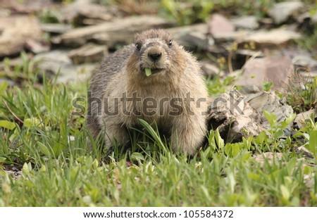 A feeding marmot at the Logan pass at Glacier National Park, Montana - stock photo