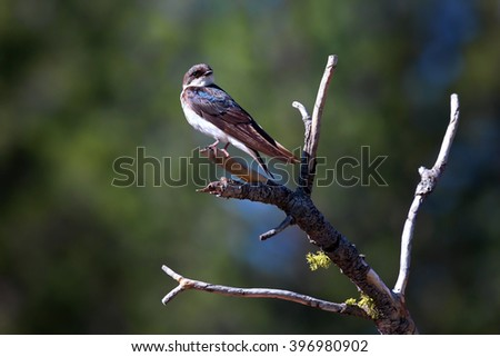 A Female Adult Tree Swallow posing alone at the top of a branch with green and blue blurred, soft background.