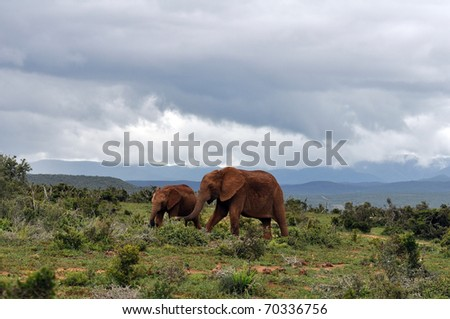A female African Elephant with a young calf in the Addo Park, South Africa.