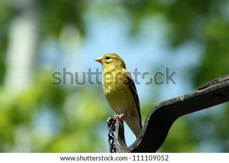A female American Goldfinch on a perch during spring in Winnipeg, Manitoba, Canada - stock photo