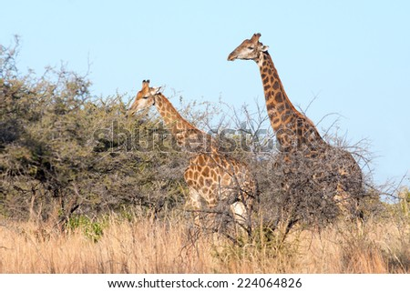 A female and darker male giraffe walking tall - stock photo