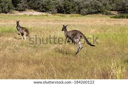 A female  Australian  brown kangaroo  macropus rufus with joey   in pouch is  hopping in a paddock of drying   grass on a hot afternoon near Leschenault estuary Australind western Australia in spring.